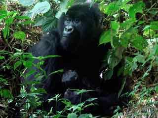 Ver vídeo  'Dos gorilas (padre e hijo) jugando al 'tú la llevas''