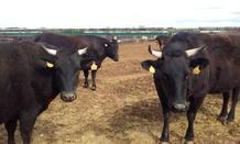 Ejemplares de wagyu en la granja de Burgos