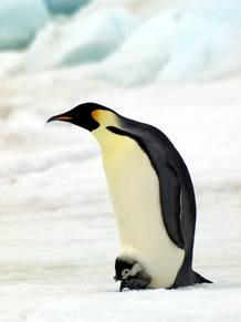 El pingüino emperador es la única especie de pingüino que se reproduce durante el invierno antártico