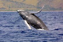El espectacular salto de una ballena jorobada