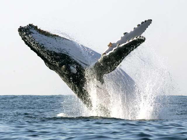 Взрослый кит за 2 секунды вдыхает 2400 литров воздуха.. Интересные факты со всего мира