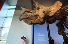 El esqueleto de un triceratops, parte de la muestra