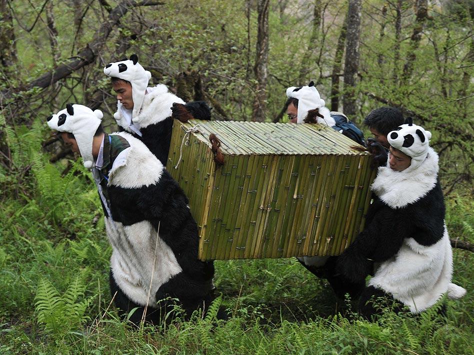 De esta 'guisa' se visten los cuidadores del parque nacional Wolong, en el suroeste de China, para poder coger a los Pandas Gigantes. En esta zona de especial protección solo dos pandas han conseguido vivir en libertad de los 30 que han liberado.