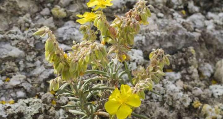Un estudio revela que las plantas pueden extraer agua de minerales como el yeso en épocas de sequía