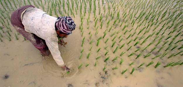 El arroz, en crisis mundial