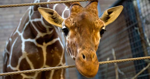 Foto de Marius, la jirafa sacrificada