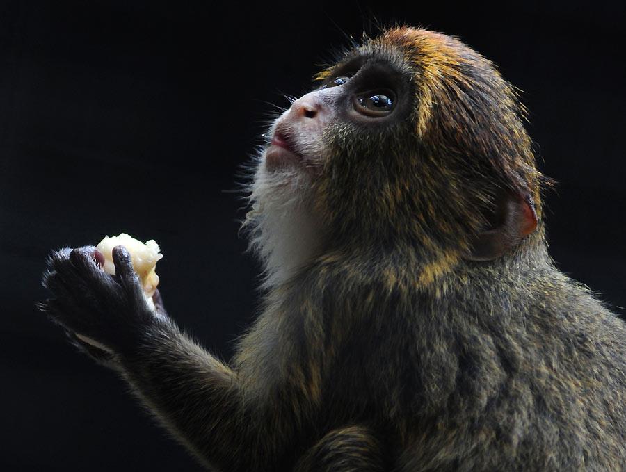 La fruta del mono obismo