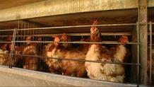 Las gallinas podrían dejar de estar en las jaulas