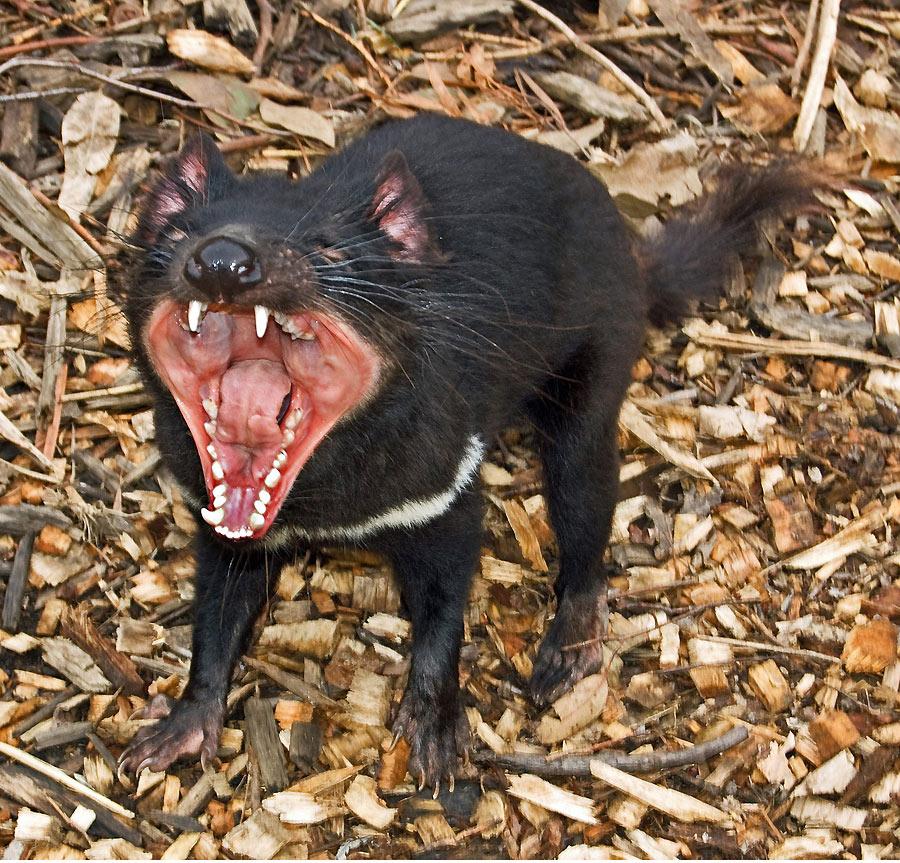 La genética puede salvar al demonio de Tasmania