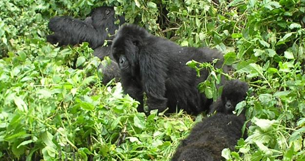 Una familia de gorilas de las montañas, en su hábitat natural entre las fronteras de Ruanda, Uganda y el Congo.