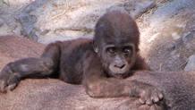 El pequeño gorila nacido en el zoo de Madrid el pasado mes de julio