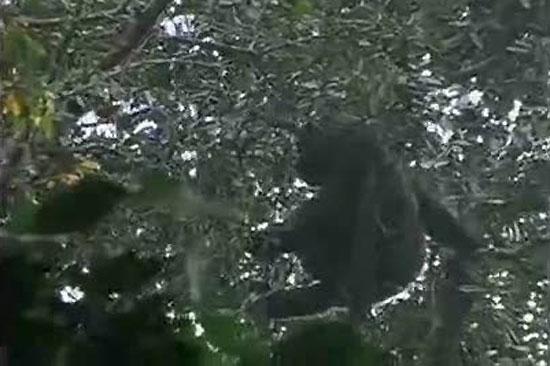 Ver vídeo  'Graban por primera vez al gorila más raro del mundo'