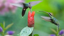 Grandes documentales - Los colibríes. Preciosos mensajeros