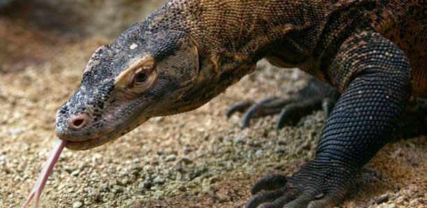 La hembra de dragón de Komodo recién llegada al Zoo de Barcelona