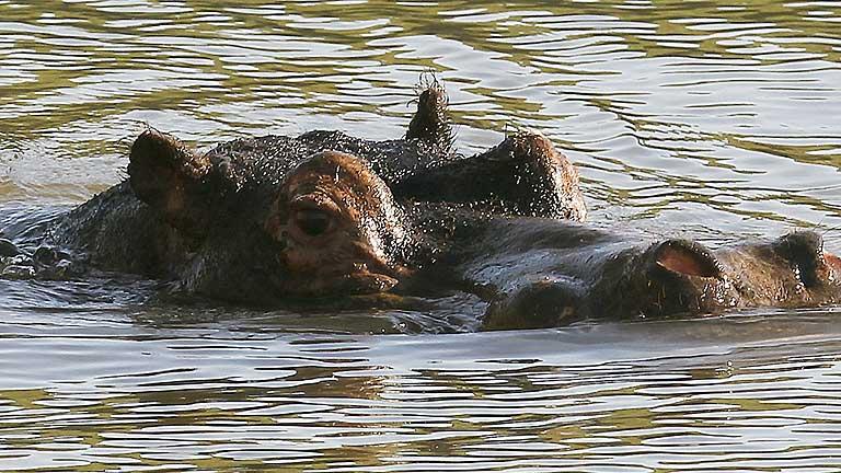 El Parque de Cabárceno opta por un hipopótamo alemán para formar una nueva línea genética