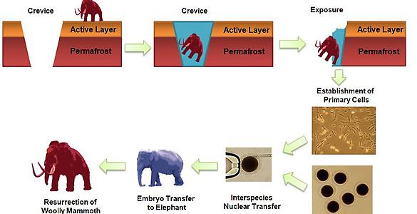 Infografía del proyecto de clonación del mamut propuesto por los expertos