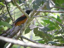 El Pitohui, el único pájaro venenoso del mundo