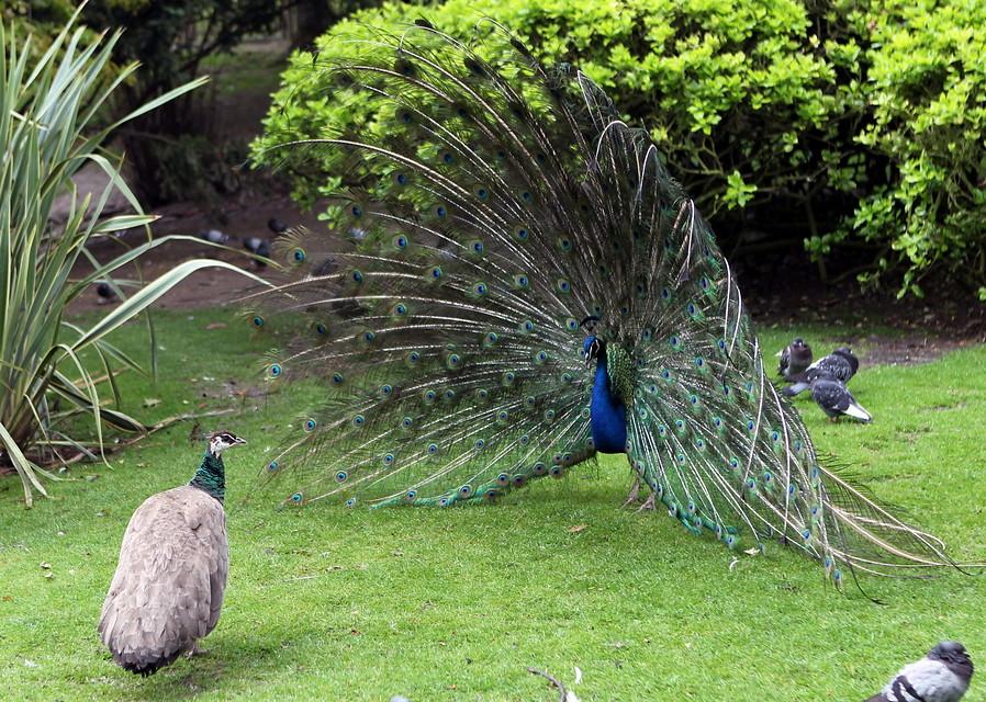 La mirada animal fotos de animales - Fotos de un pavo real ...