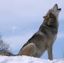 Un lobo aullando en Dakota
