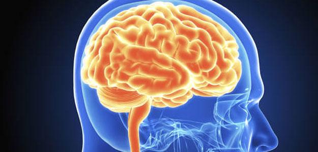 Demostrado el mecanismo molecular que regula la migración de células de la capa I en el desarrollo de la corteza cerebral