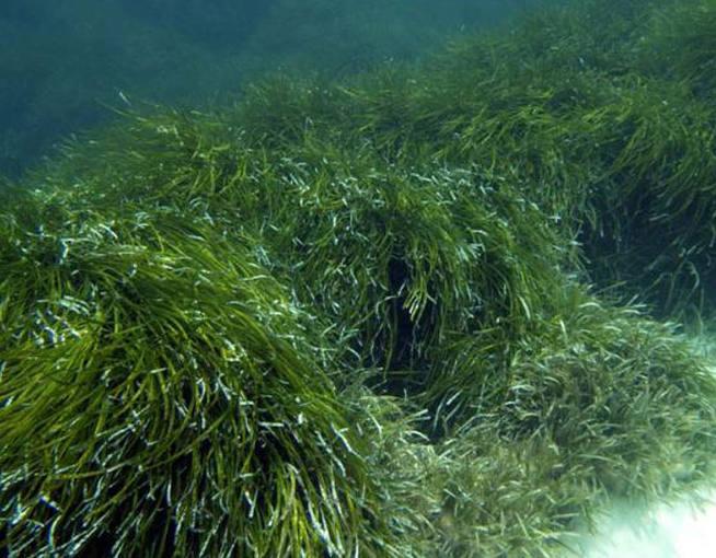 Imagen de una pradera submarina