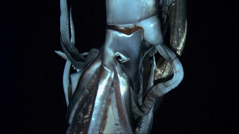 El calamar gigante, captado por primera vez en imágenes espectáculares
