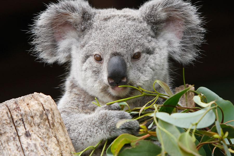 Koala, 'especie amenazada'