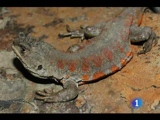 Según la revista Science, en 2080 habrá 1.300 especies menos de lagartos