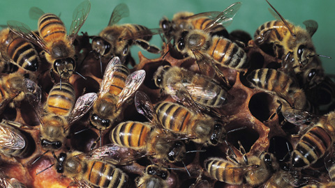 Las abejas pueden ayudar a restaurar el medio ambiente con rapidez