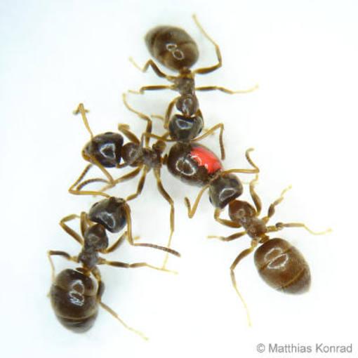Los investigadores han analizado la respuesta inmunitaria de las hormigas