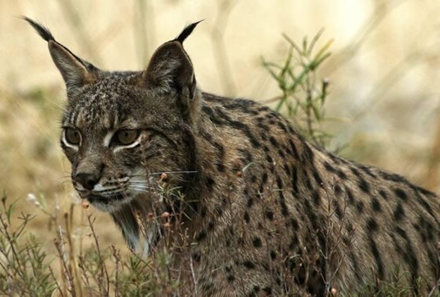 """El lince ibérico es una especie en """"peligro crítico de extinción"""", según la Unión Internacional para la Conservación de la Naturaleza."""