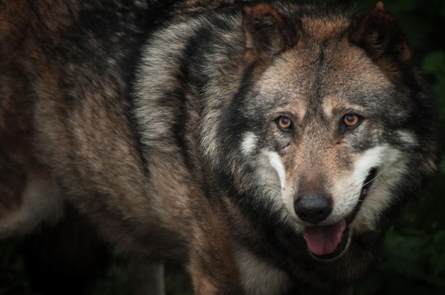 ¿Lobo bueno, lobo malo?
