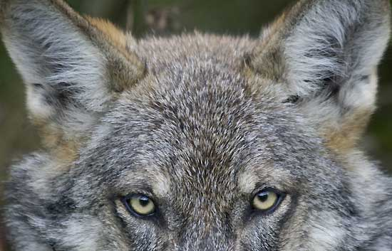 El lobo ib&eacute;rico prefiere los animales salvajes a las ovejas