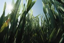 El cultivo de maíz transgénico es el único permitido en la Unión Europea aunque se importan grandes cantidades de esta clase de cultivos.