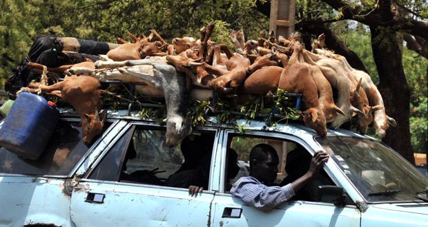 Un coche transporta cabras en una calle de Bamako, la capital de Mali.