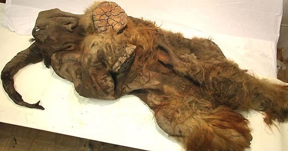 Se cree que el mamut tenía unos dos años y medio cuando murió hace unos 10.000 años.