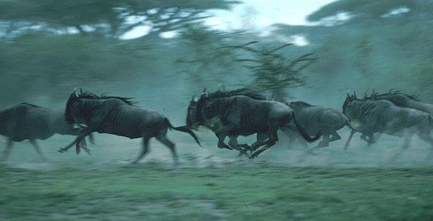 Manadas de ñus emigran cada año del Parque Nacioanal de Serengeti