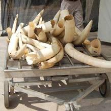 Marfil procedente de la caza furtiva de elefantes