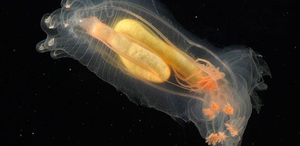 Este gusano, 'Peniagone diaphana', con tonos amarillentos y naranjas, fue encontrado en la dorsal mesoatlántica, en la estación 38.