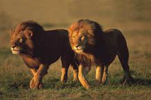 La migración de Serengenti a Masai Mara es una de las mayores atracciones turísticas