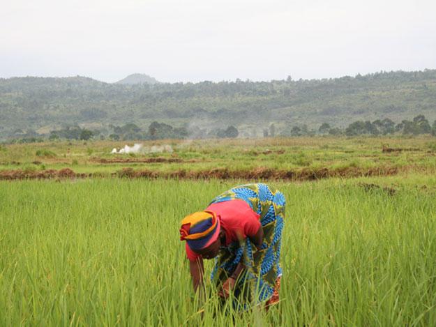 Mujeres trabajando en los arrozales de Burundi
