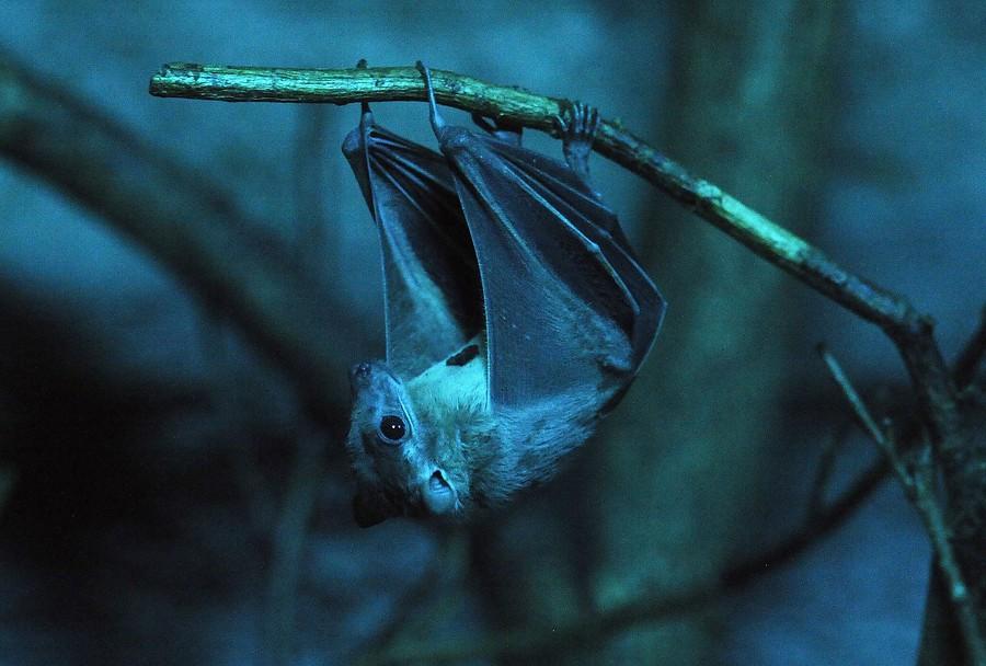 Murciélagos, portadores de nuevos virus