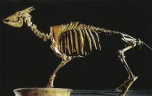 La ya extinguida cabra-rata de Mallorca