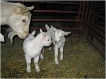 Los científicos también ha creado cabras que dan leche con proteínas de seda de araña