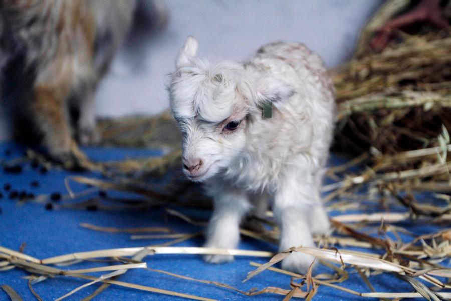 La nueva Dooly: Noori, una cabra clonada