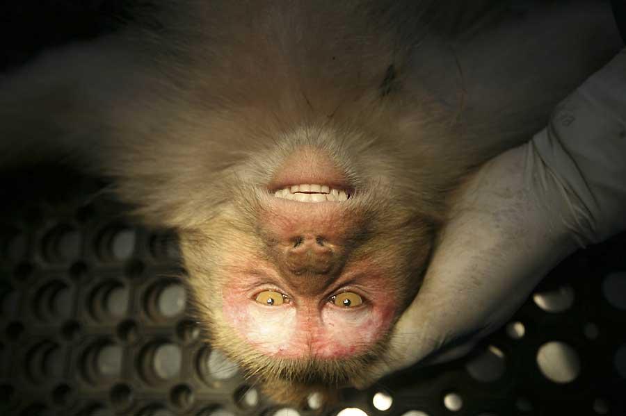 Nueve dólares de recompensa por cada mono capturado