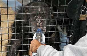 Ver v?deo  'Nuevo hogar para los chimpancés abandonados'
