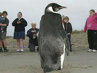 Ver vídeo  'La odisea del pingüino viajero, de la Antártida a Nueva Zelanda'