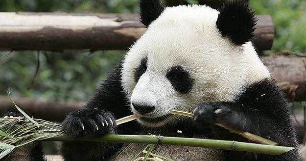 La Muerte De Un Panda Gigante En Japón Puede Favorecer El