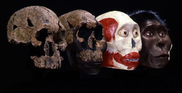 Evolución de las diferentes especies de homínidos junto a la reconstrucción del cráneo KNM-ER 1470, encontrado en Kenia en 1972.